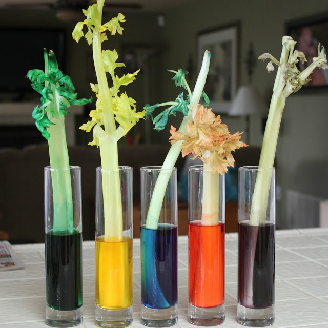 color changing celery in cups filled with water